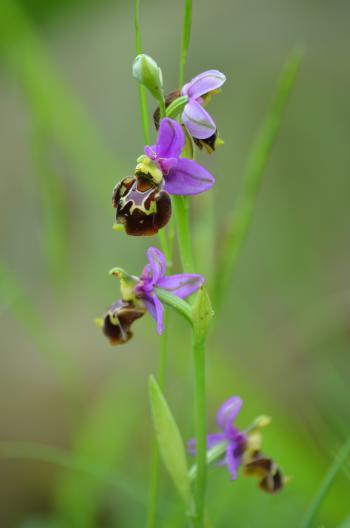Ophrys bourdon ©PNRMR