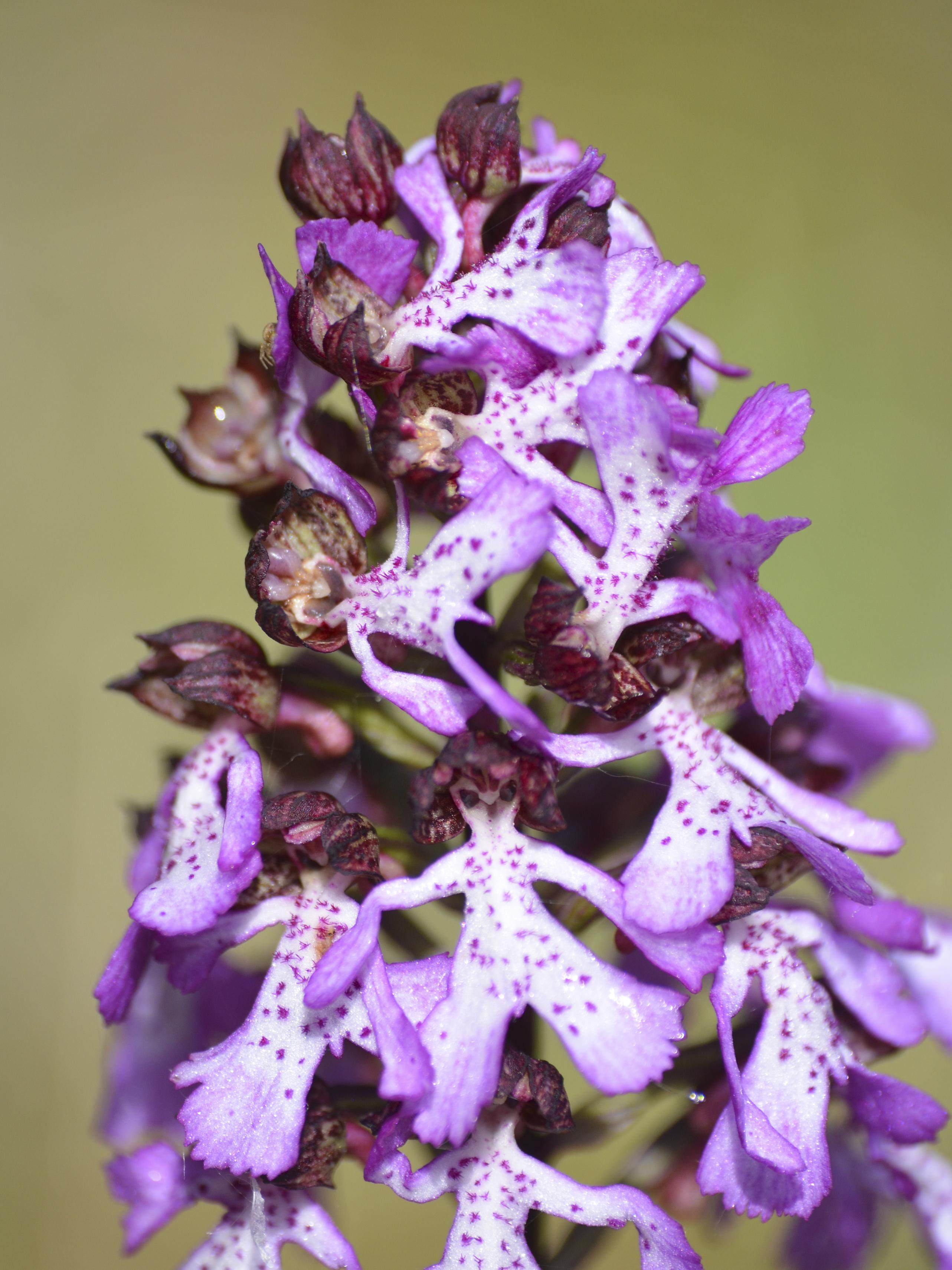 Orchis purpurea ©PNRMR