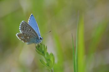 Argus bleu ©PNRMR